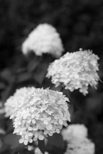 Blüte in Schwarzweiß von gilidhor