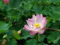 Lotus-von-bali