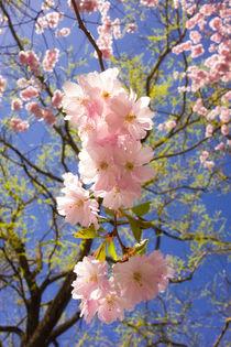 'Kirschblüte - rosa Blüten im Frühling' von Matthias Hauser
