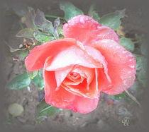 zarte Rose... von Thea Ulrich