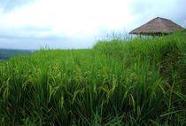 Reis-terase-jatiluwih-bali1
