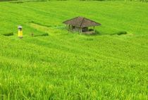 Reisplantasche-jatiluwih-bali