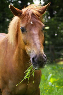 Quarter-Haflinger Mix Lilly  by AD DESIGN Photo + PhotoArt