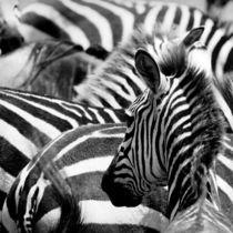 pattern of zebras, masai mara, kenya von Konstantin Kalishko