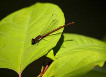 red on blue - Libelle / Dragonfly by mateart