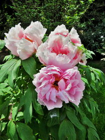 Tree Peony From Crimea