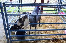 Cute-goat