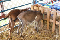 Young-goat-eating-dry-straw