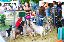 Goats-at-county-fair
