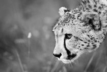 Cheetha on the prowl. Black and White by Yolande  van Niekerk