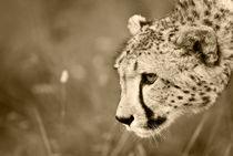Cheetah on the prowl. Sepia by Yolande  van Niekerk