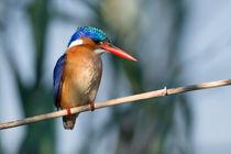 Malachite Kingfisher, O sho colourful! by Yolande  van Niekerk