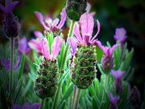 lavendel by hedy beith
