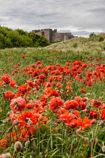 Poppies by David Pringle
