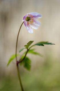 Woodland-anemone
