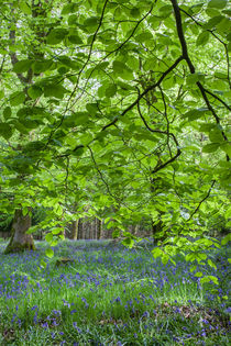 Beneath the Beech by David Tinsley