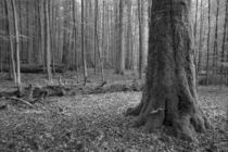 Old forest by dagino