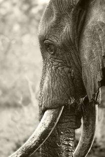 Bull Elephant portrait in sepia by Yolande  van Niekerk
