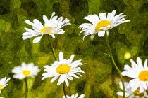 Daisy-oil-1