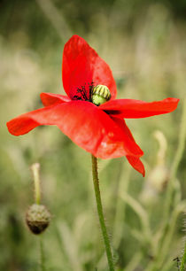 Poppy by Jeremy Sage