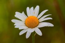 Daisy-23