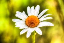 Daisy-1234