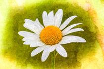 Daisy-clr-vig