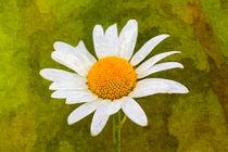 Daisy-oil-2
