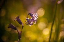 Bluebell von lilithdavinci