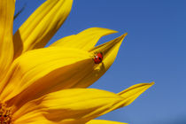 Sonnenblume-mit-insekt-1