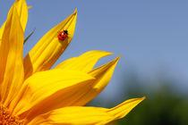 Sonnenblume-mit-insekt-4