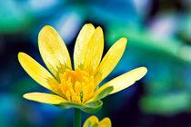 Celandine-flower