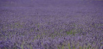 lavender fields by emanuele molinari