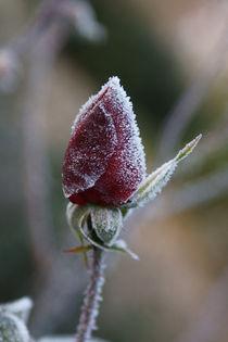 Rose 2 by Bernd Fülle