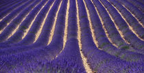 lavender fields and stripe von emanuele molinari