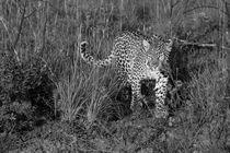 Wild female leopard approaching through grasses in black and white von Yolande  van Niekerk