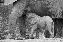 Baby-elephant-drinking-from-its-mother-in-b-and-w