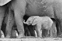 Baby African elephant next to mom in B&W by Yolande  van Niekerk