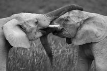 Close-up-of-african-elephants-wrestling-b-and-w2