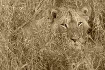 Lion in Grass - Sepia von Yolande  van Niekerk