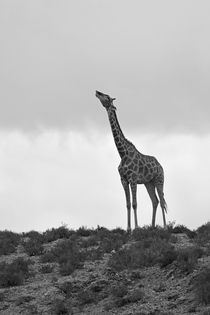 Giraffe-on-small-hill-seemingly-drinking-from-clouds-in-black-and-white