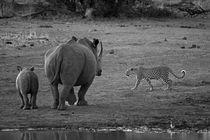 Female Leopard passing White rhino mother and calf von Yolande  van Niekerk