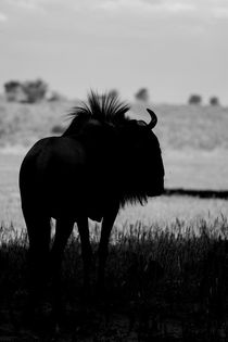 Silhouetted-wildebeest