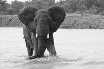 African Elephant approaching through shallow water and rain by Yolande  van Niekerk