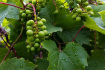 Grapes-in-the-rain-a-crop-i