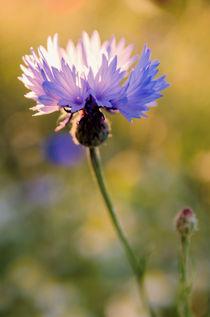 Wild Cornflower von Jeremy Sage