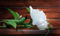 White Peony on a wooden background by larisa-koshkina