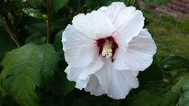 black bug on white flower by feiermar