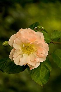 "Peach rose ""Penelope"" by Jacqi Elmslie"