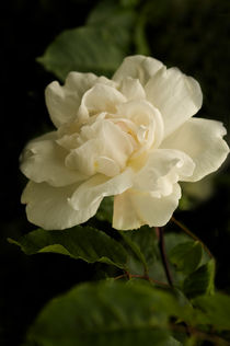 Romantic White Rose by Jacqi Elmslie
